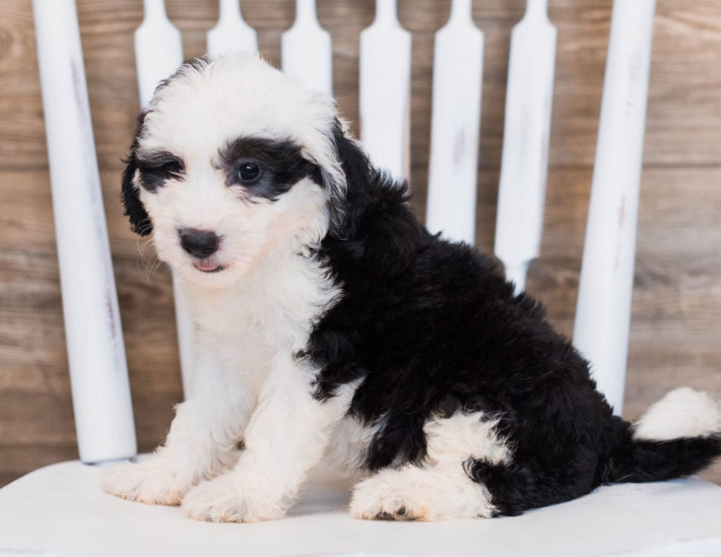 Cherry is an F1 Sheepadoodle that should have  and is currently living in Utah