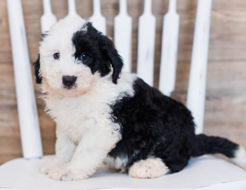 A picture of a Cliff, one of our Mini Sheepadoodles puppies that went to their home in Illinois