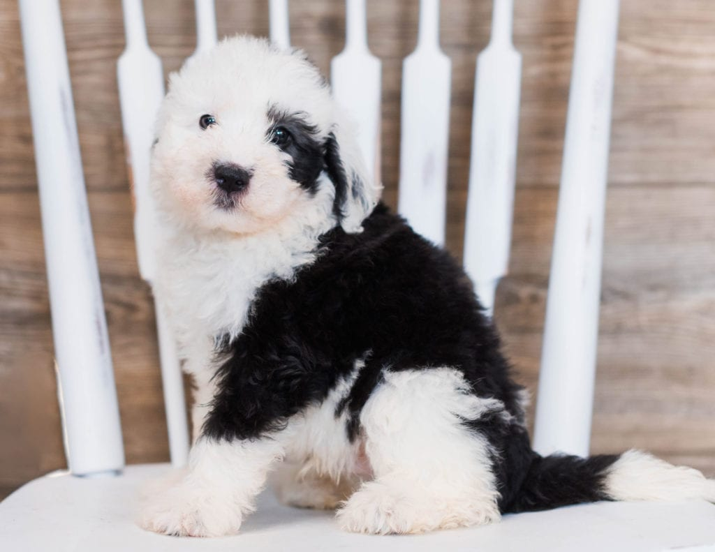 A picture of a Clover, one of our Mini Sheepadoodles puppies that went to their home in Minnesota