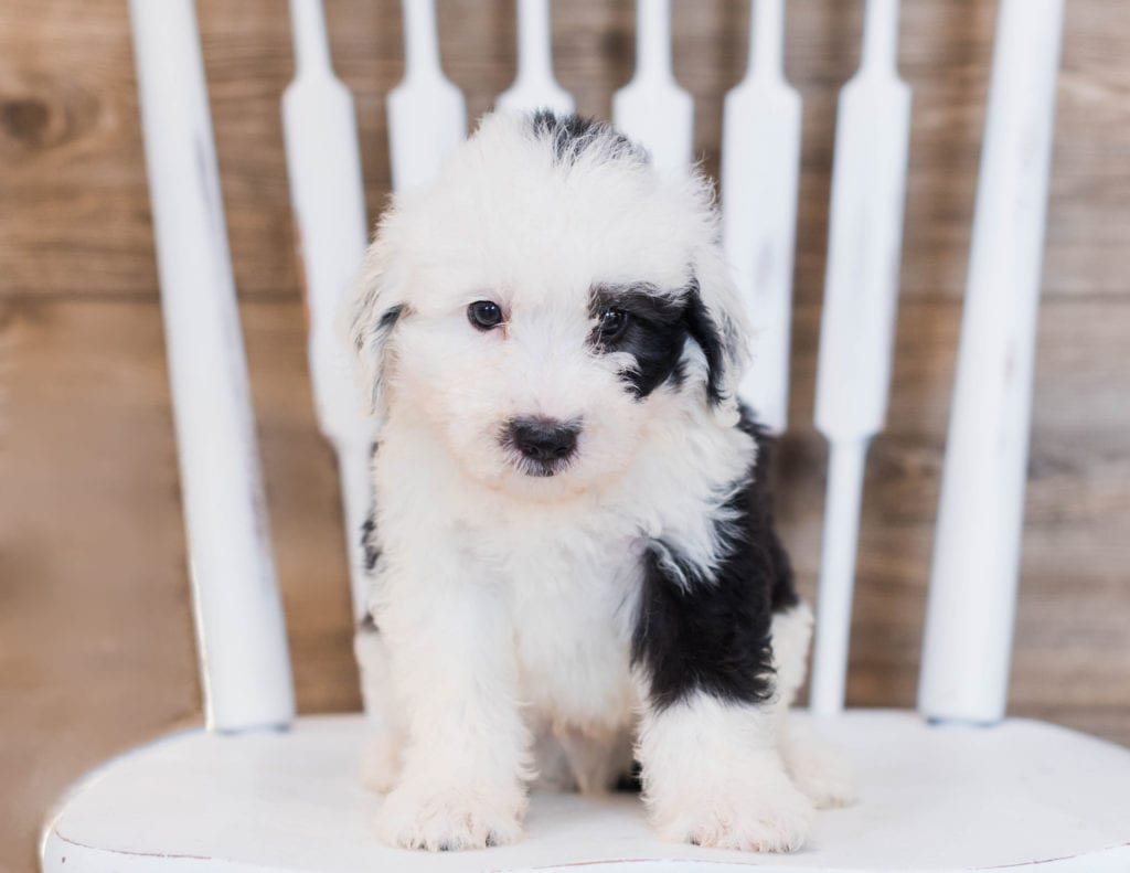 Clover is an F1 Sheepadoodle that should have  and is currently living in Minnesota