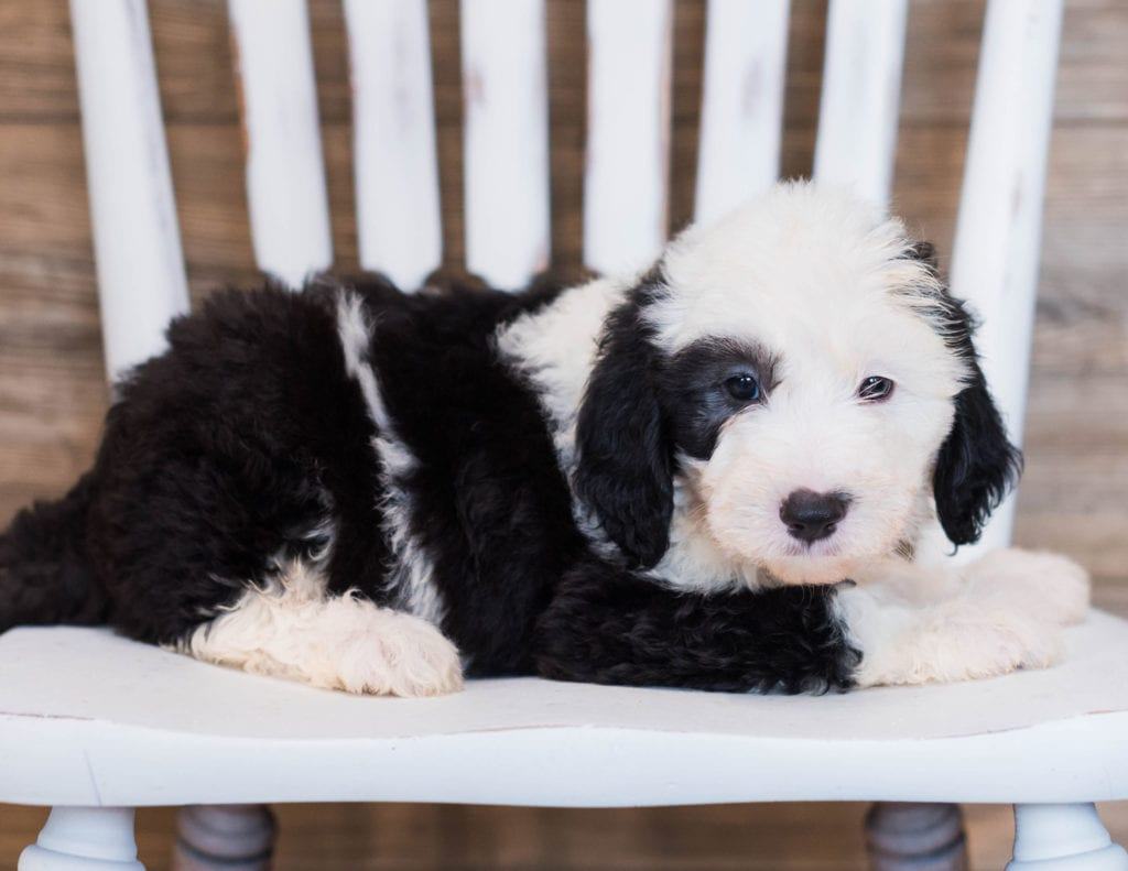 Clyde is an F1 Sheepadoodle that should have  and is currently living in Kentucky