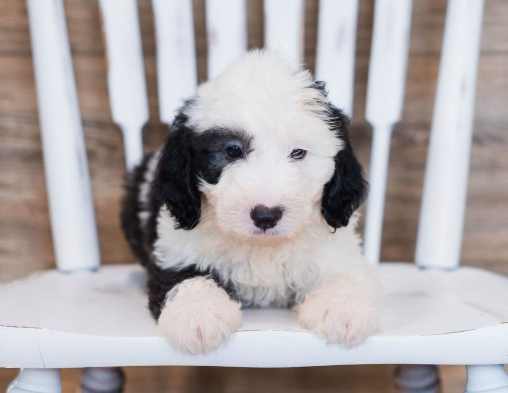 A picture of a Clyde, one of our Mini Sheepadoodles puppies that went to their home in Kentucky