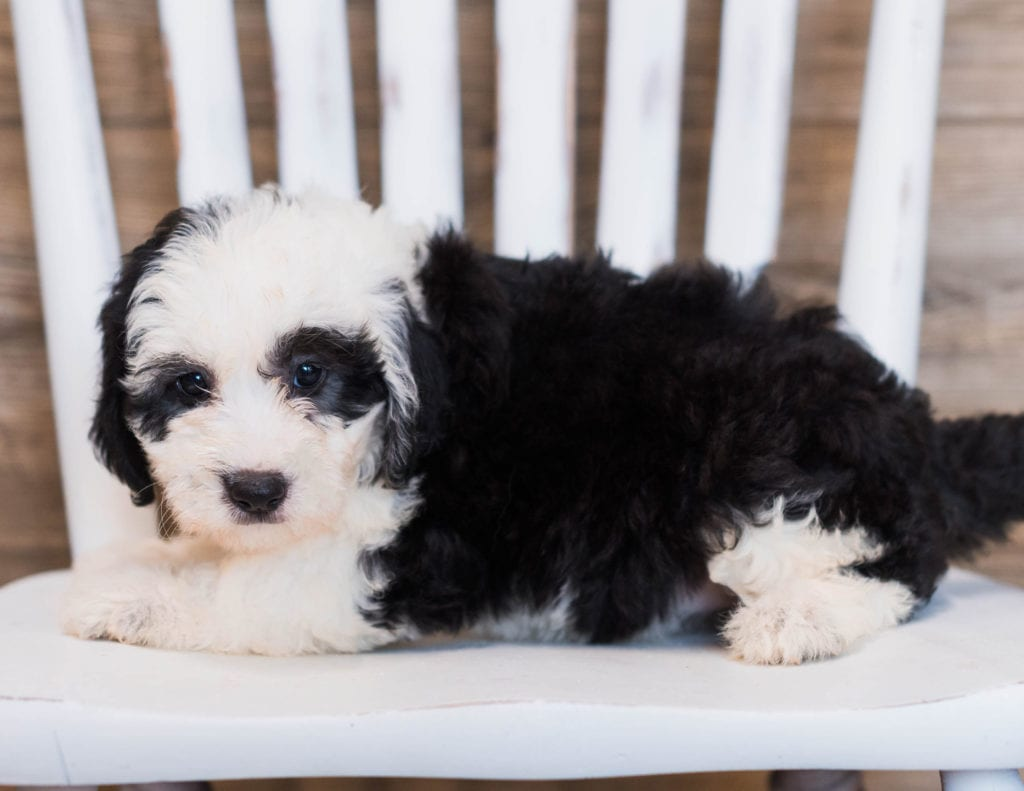 Cece is an F1 Sheepadoodle that should have  and is currently living in Virginia