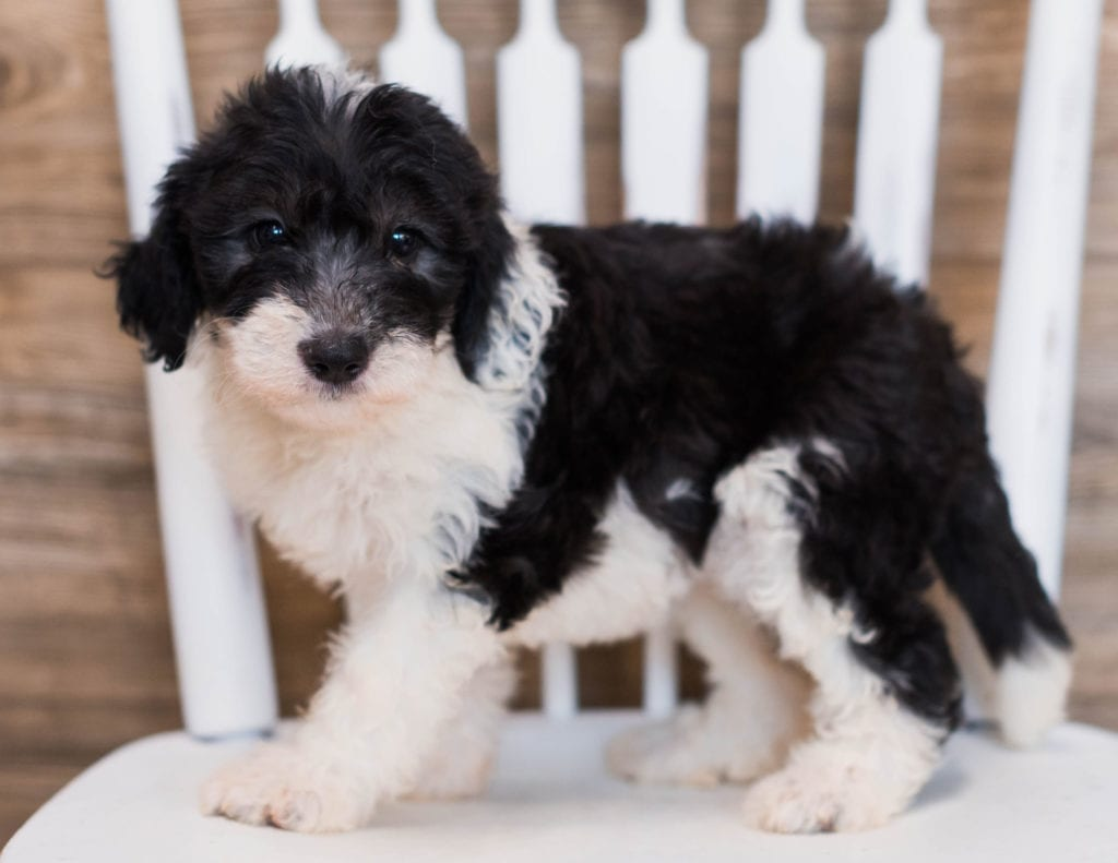 A picture of a Crystal, one of our Mini Sheepadoodles puppies that went to their home in New York