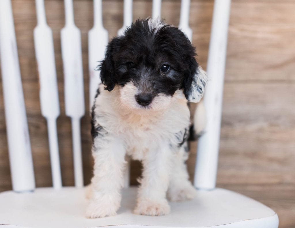Crystal is an F1 Sheepadoodle that should have  and is currently living in New York