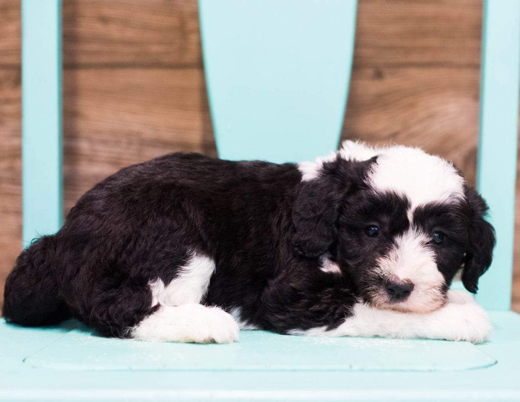 Cuddles came from Tuxxy and Indy's litter of F1 Sheepadoodles