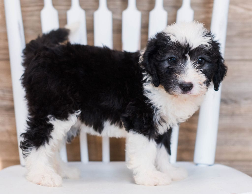 Cuddles is an F1 Sheepadoodle.