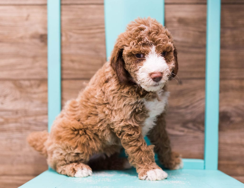 Compare and contrast Goldendoodles with other doodle types at our breed comparison page!