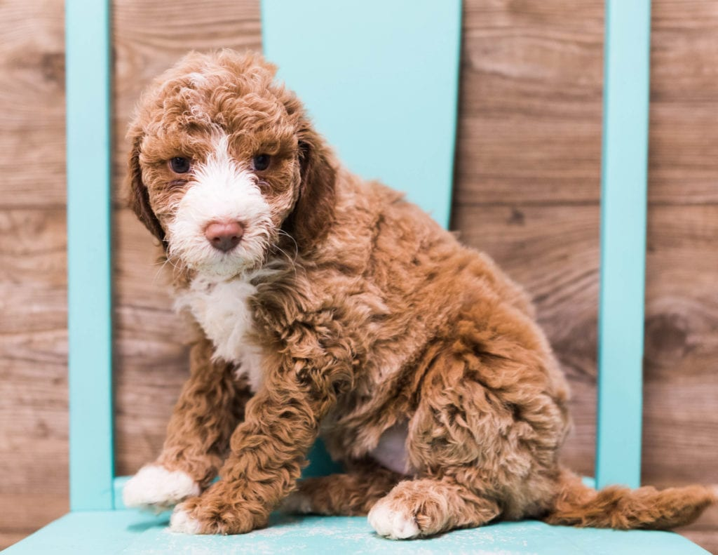A picture of a Dana, one of our Mini Goldendoodles puppies that went to their home in Illinois
