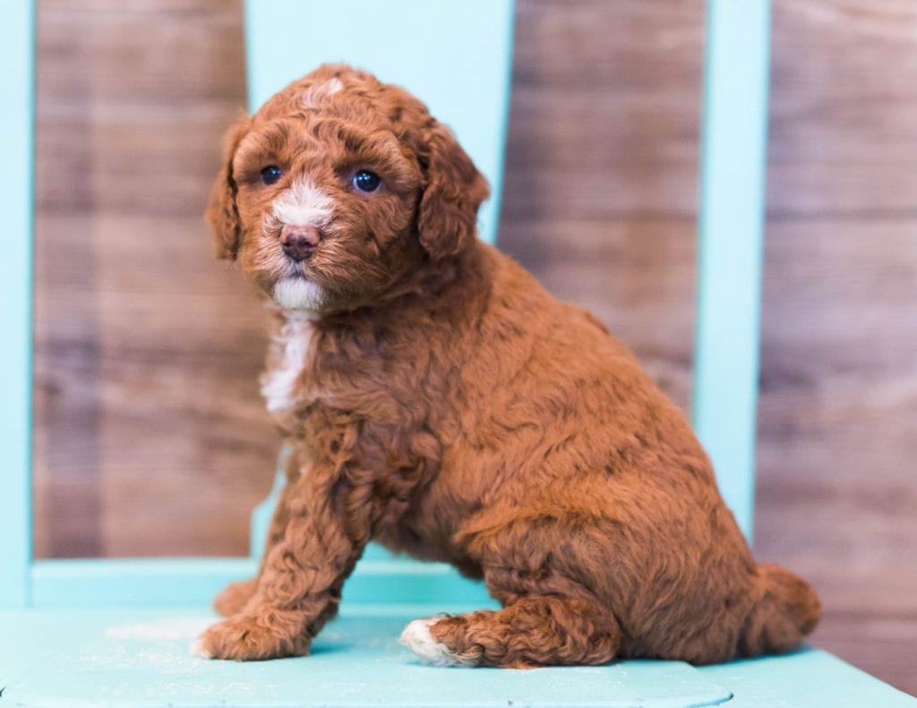 Darla is an F1B Goldendoodle that should have  and is currently living in Wisconsin