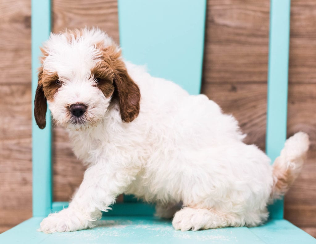 Dice is an F1B Goldendoodle that should have  and is currently living in Nebraska