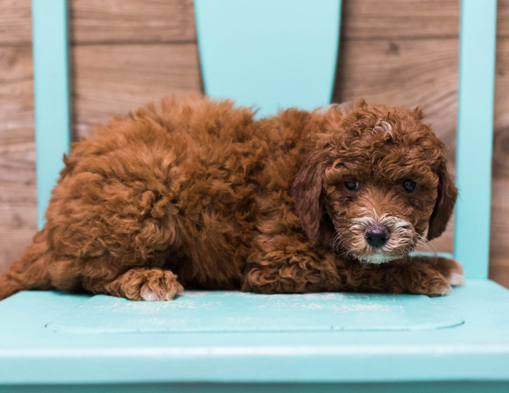 Diva is an F1B Goldendoodle that should have  and is currently living in Minnesota