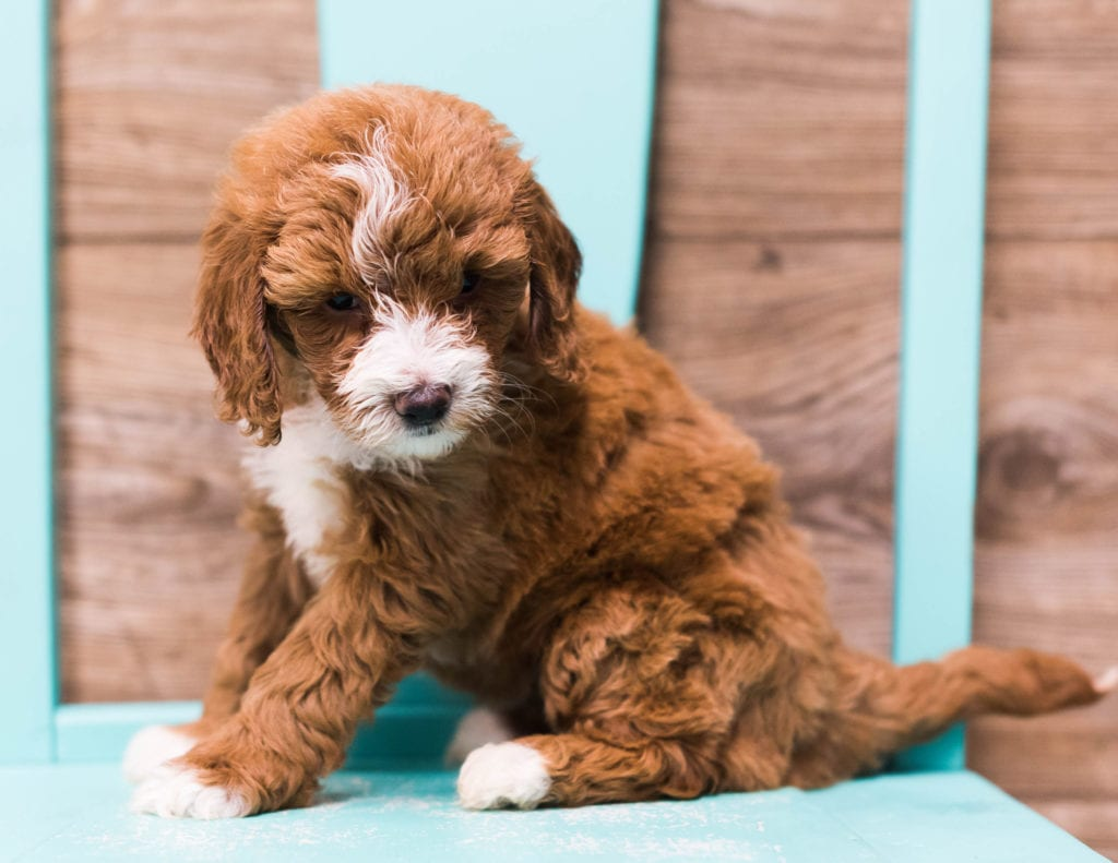 A picture of a Dixie, one of our Mini Goldendoodles puppies that went to their home in Illinois