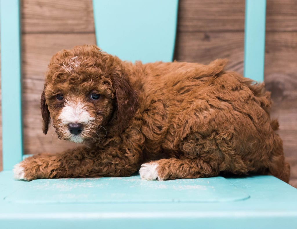 Dora is an F1B Goldendoodle that should have  and is currently living in California