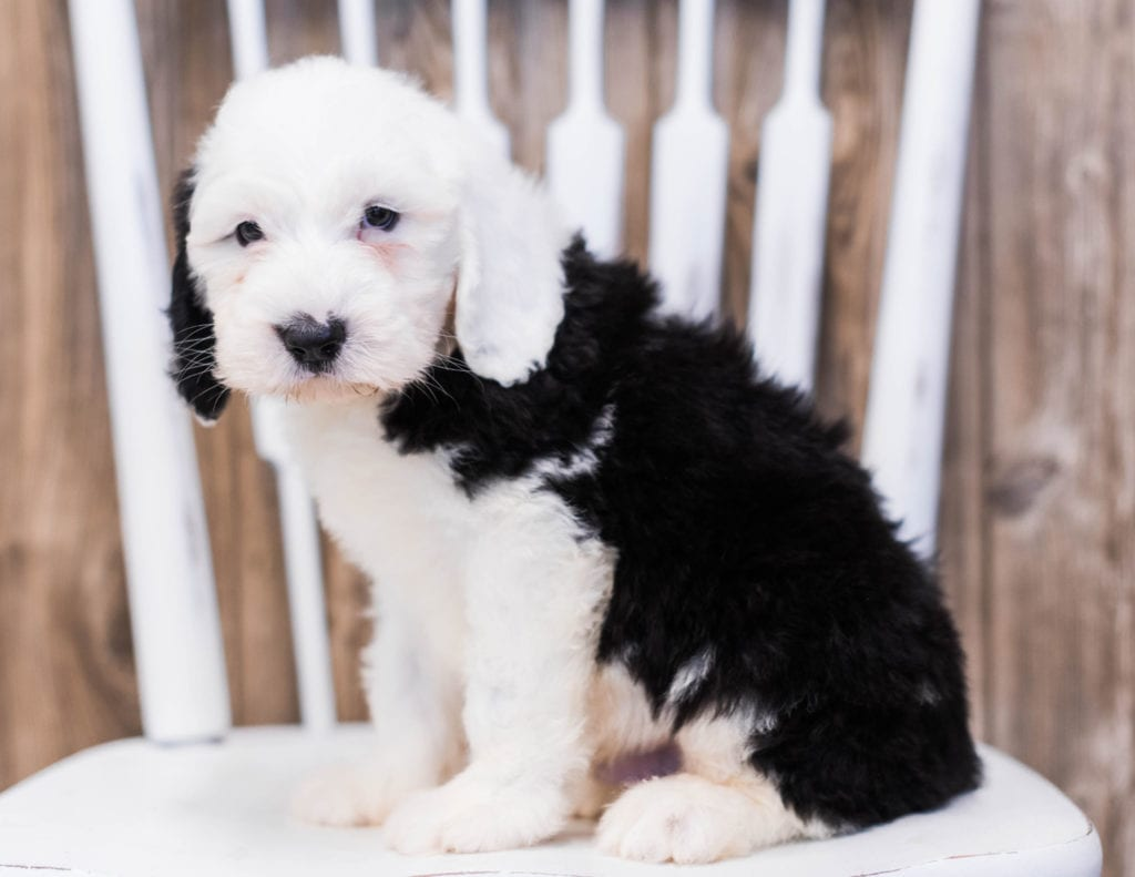 Eko is an F1 Sheepadoodle that should have  and is currently living in New Jersey