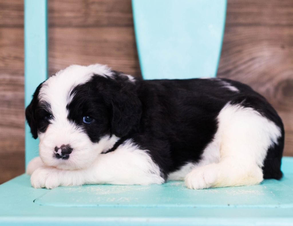 Eldo is an F1 Sheepadoodle that should have  and is currently living in Illinois