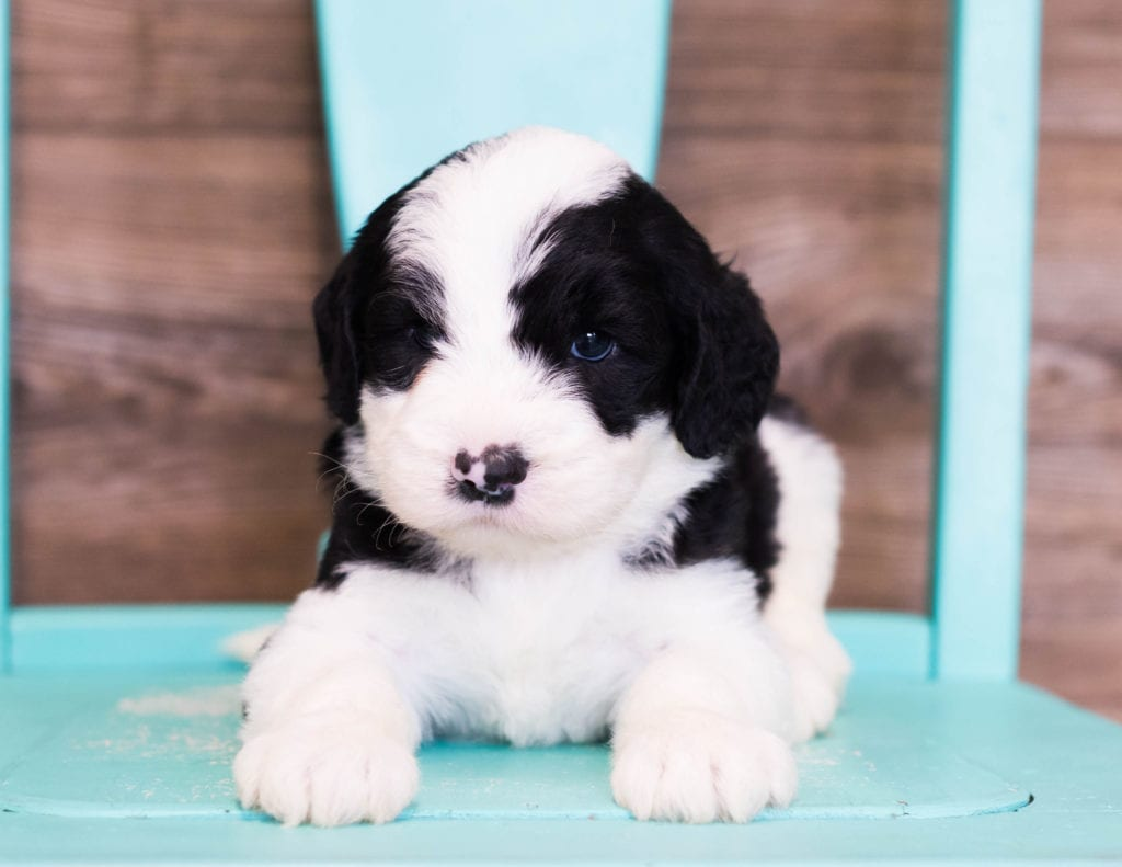 A picture of a Eldo, one of our Standard Sheepadoodles puppies that went to their home in Illinois