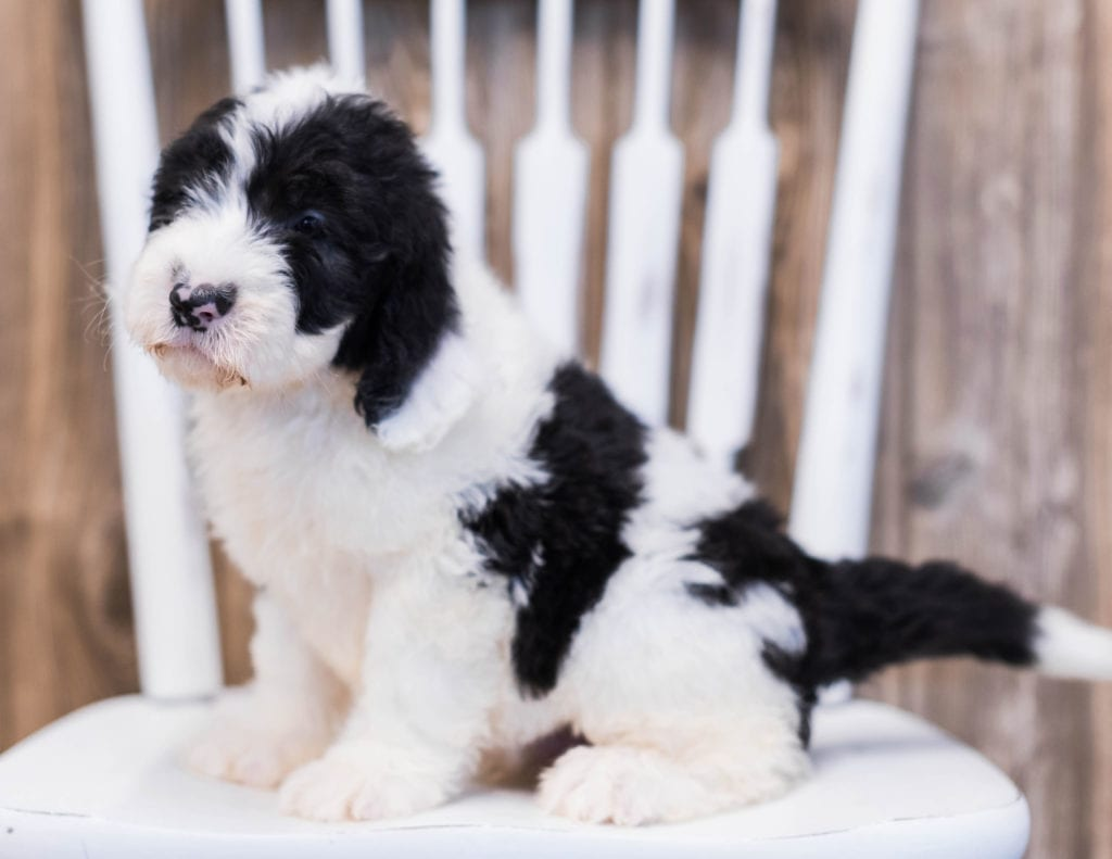 Elf is an F1 Sheepadoodle that should have  and is currently living in Nebraska