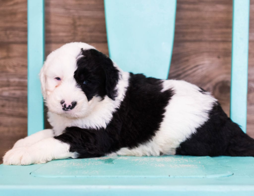 Elijah is an F1 Sheepadoodle that should have  and is currently living in Flordia
