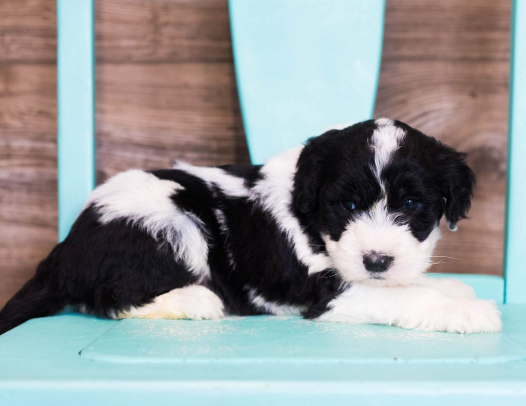 A picture of a Elli, one of our Standard Sheepadoodles puppies that went to their home in New Hampshire