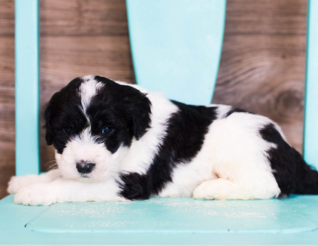 Elli is an F1 Sheepadoodle that should have  and is currently living in New Hampshire