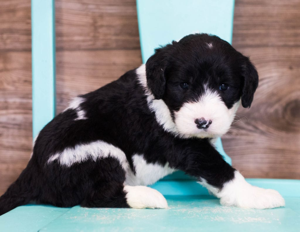 Elva came from Shandy and Bentley's litter of F1 Sheepadoodles