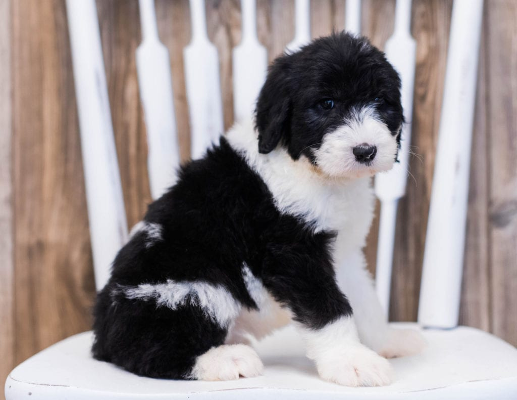 Our cute Standard Sheepadoodles available for sale!