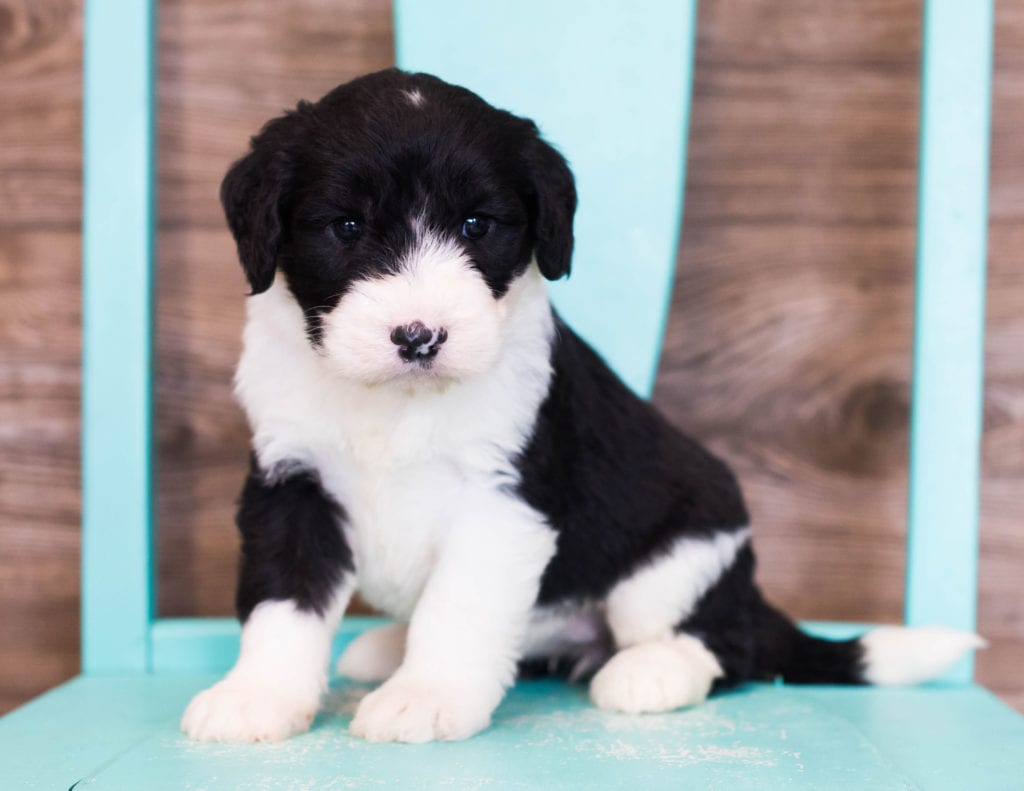 A picture of a Elva, one of our Standard Sheepadoodles puppies that went to their home in Illinois