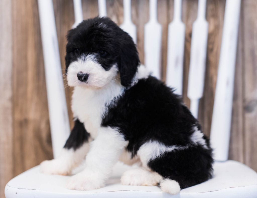 Elva is an F1 Sheepadoodle that should have  and is currently living in Illinois