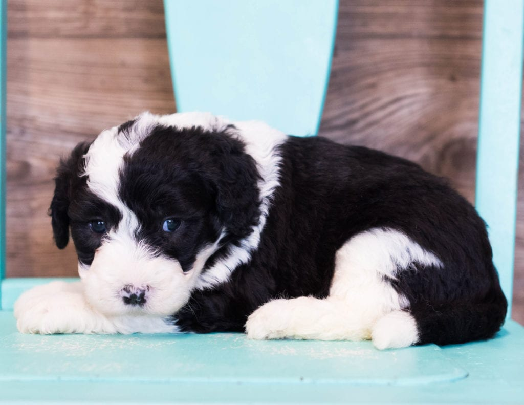 Ema is an F1 Sheepadoodle that should have  and is currently living in Illinois