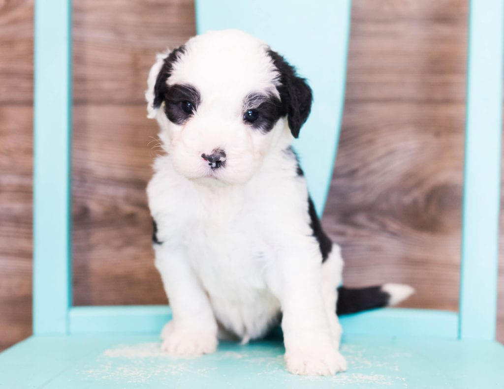 Envy is an F1 Sheepadoodle that should have  and is currently living in Iowa