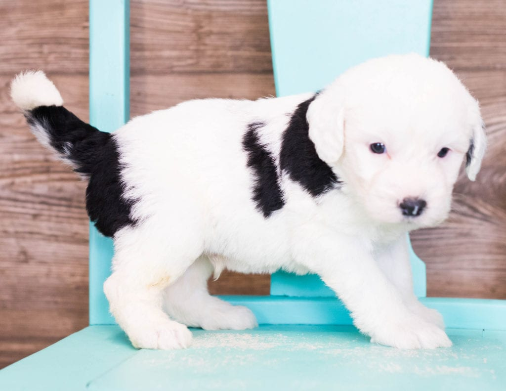 Erik is an F1 Sheepadoodle that should have  and is currently living in Iowa