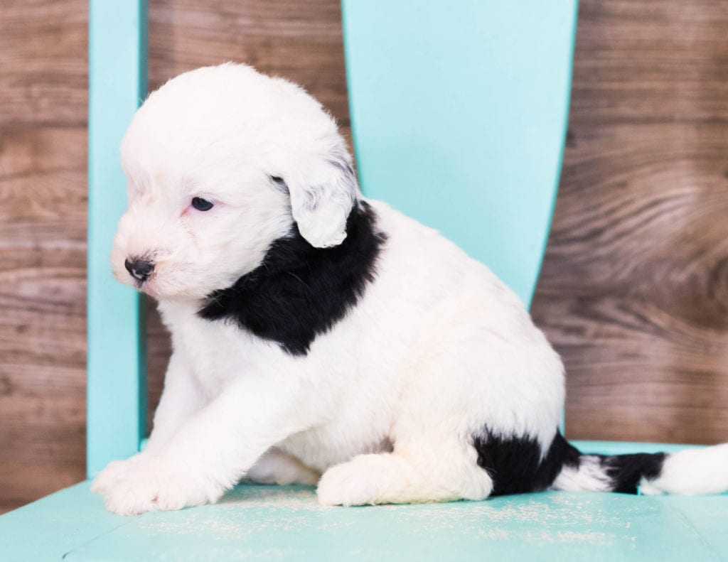 Erik came from Shandy and Bentley's litter of F1 Sheepadoodles