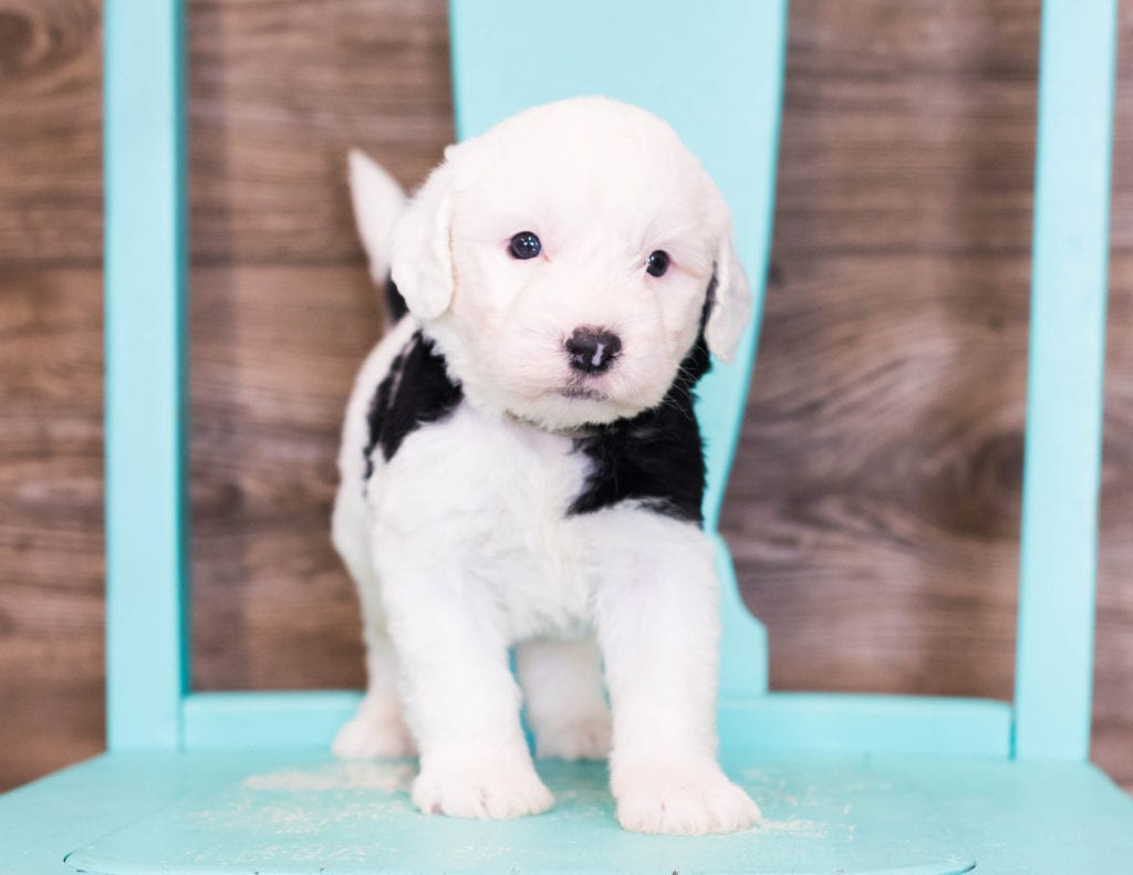 A picture of a Erik, one of our Standard Sheepadoodles puppies that went to their home in Iowa