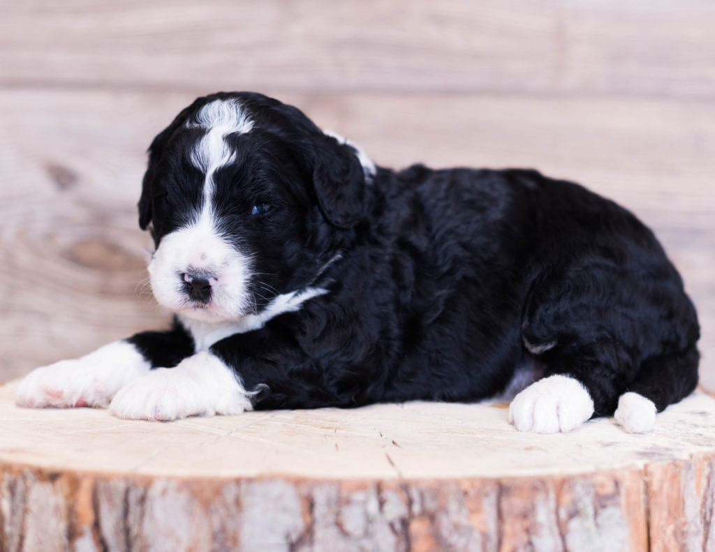 A picture of a Scotty, one of our Standard Bernedoodles for sale