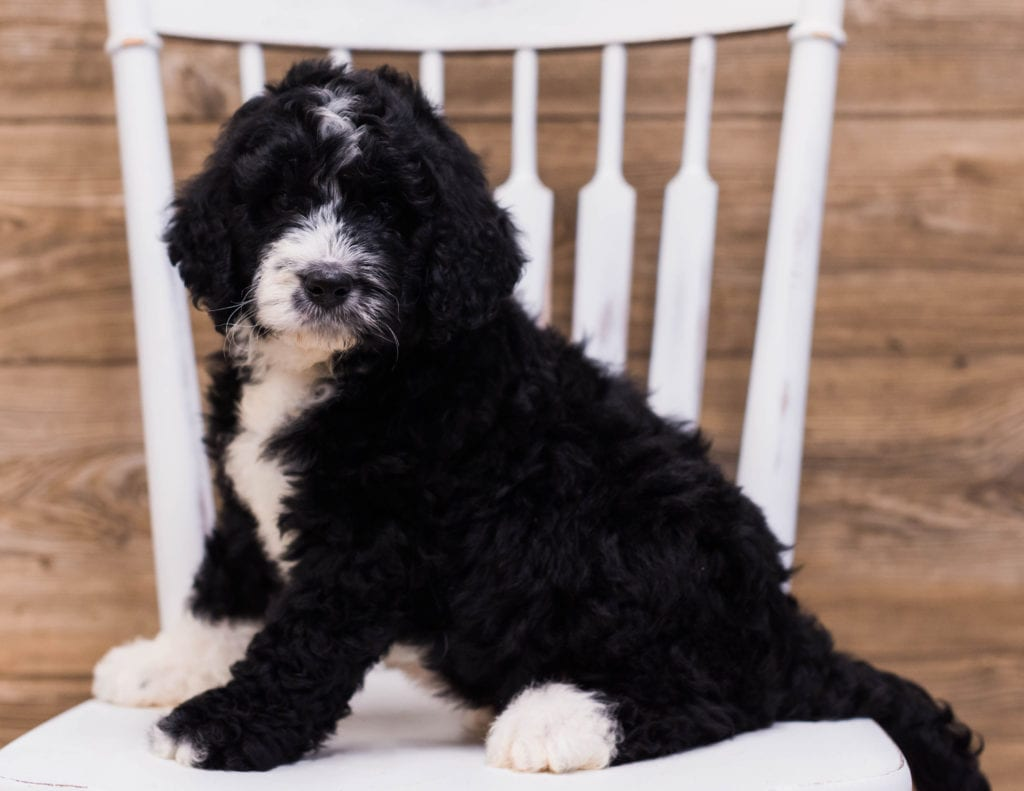 Standard Bernedoodles with hypoallergenic fur due to the Poodle in their genes. These Bernedoodles are of the F1 generation. For more info on generations, view our specific breed page for Bernedoodles.