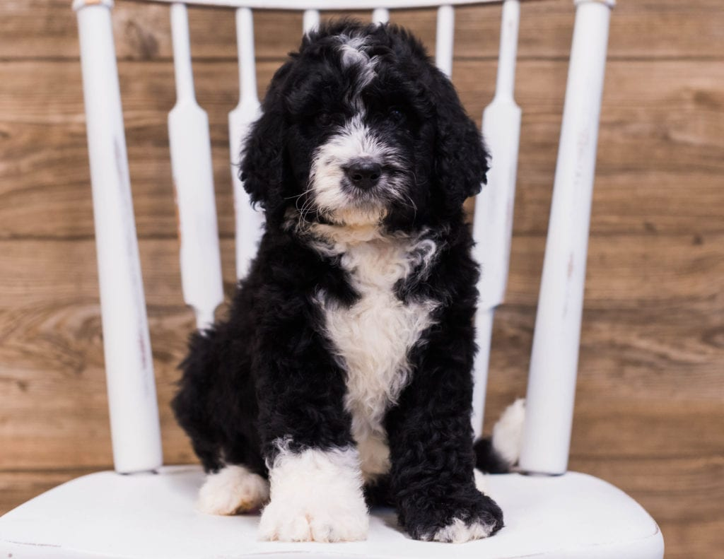 Scotty is an F1 Bernedoodle that should have  and is currently living in Illinois
