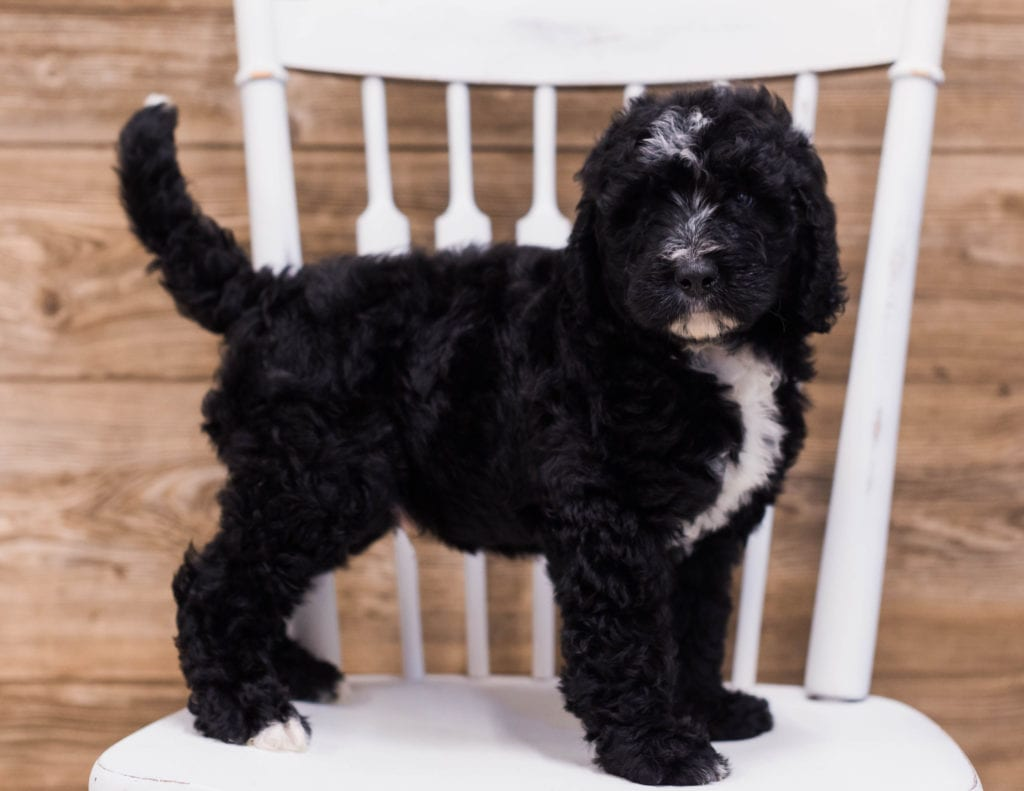 A picture of a Skip, one of our Standard Bernedoodles puppies that went to their home in California