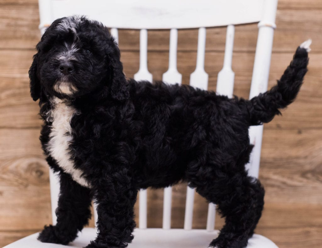 Bernedoodles bred in in Iowa by Poodles 2 Doodles