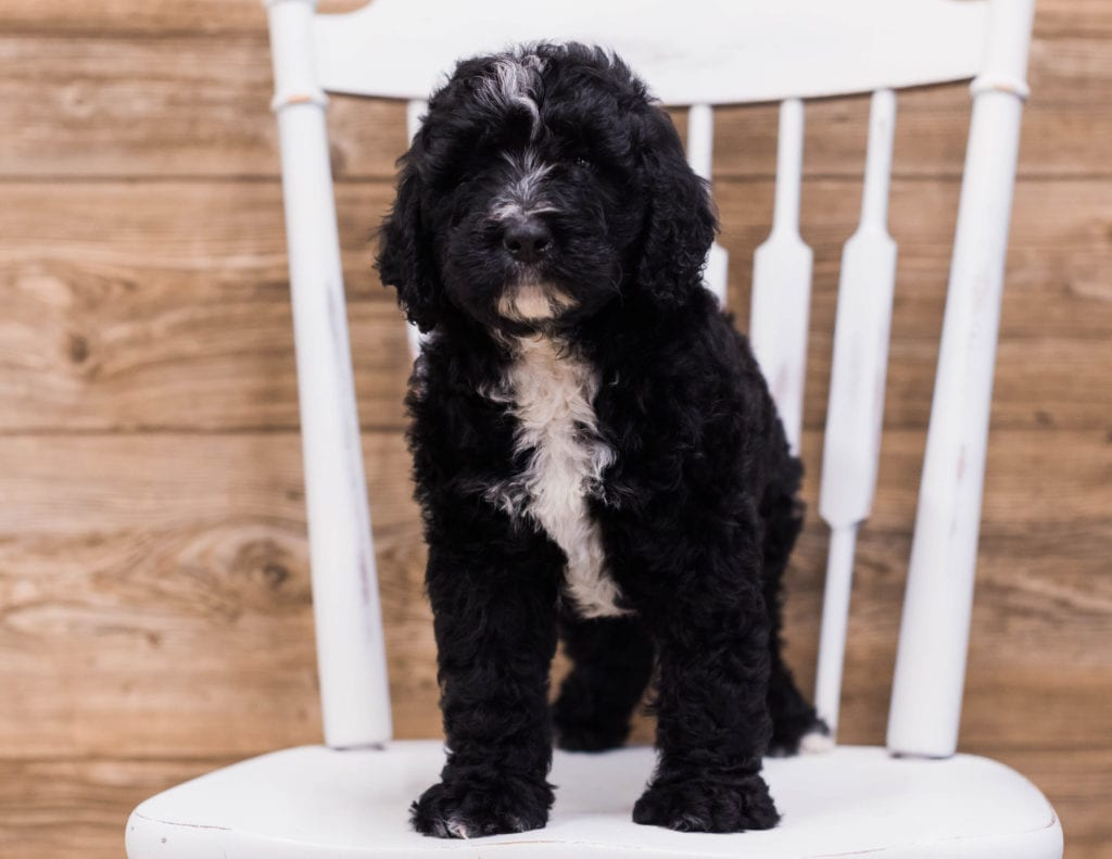 Skip came from Kiaya and Merlin's litter of F1 Bernedoodles