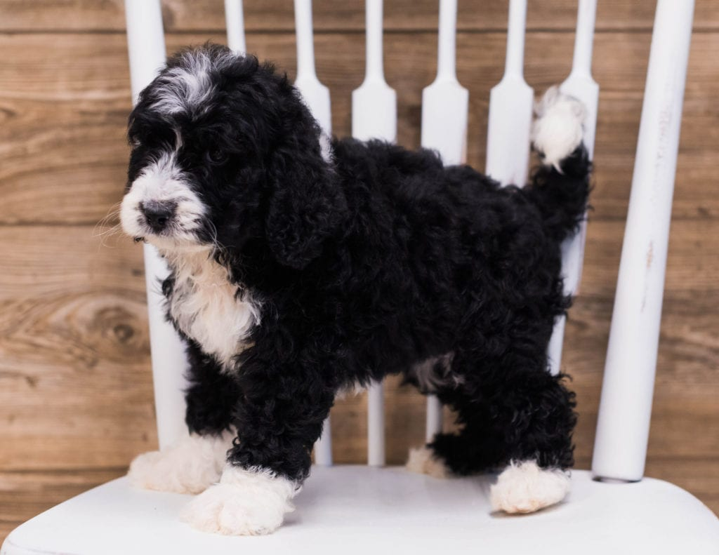 A picture of a Sky, one of our Standard Bernedoodles puppies that went to their home in Iowa