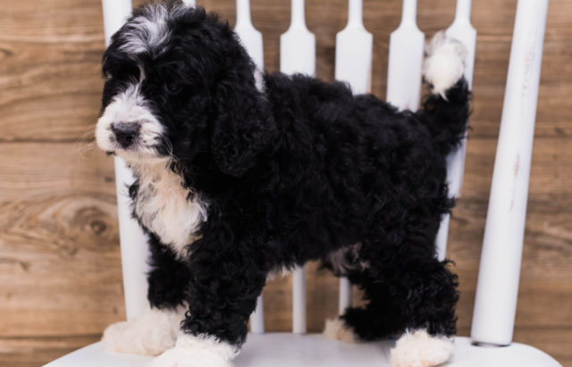 A picture of our litter of Standard Bernedoodles raised in Iowa
