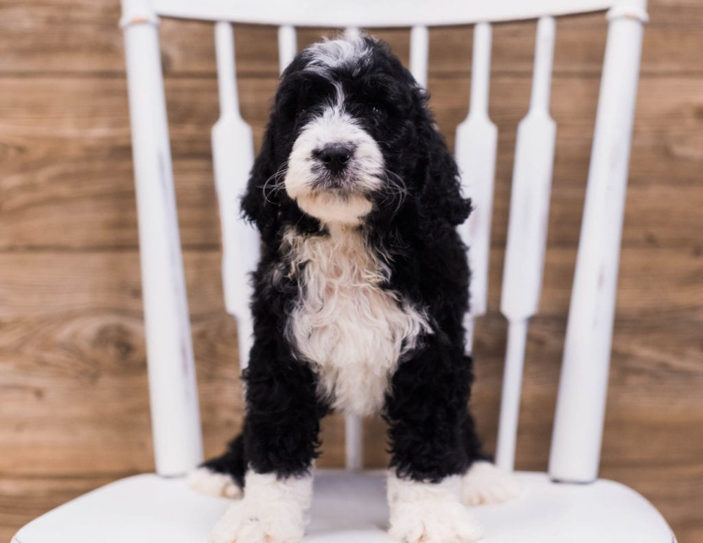 Sky is an F1 Bernedoodle that should have  and is currently living in Iowa