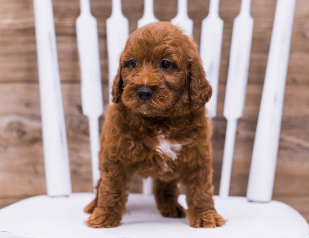A picture of a Tank, one of our Mini Irish Doodles puppies that went to their home in Illinois