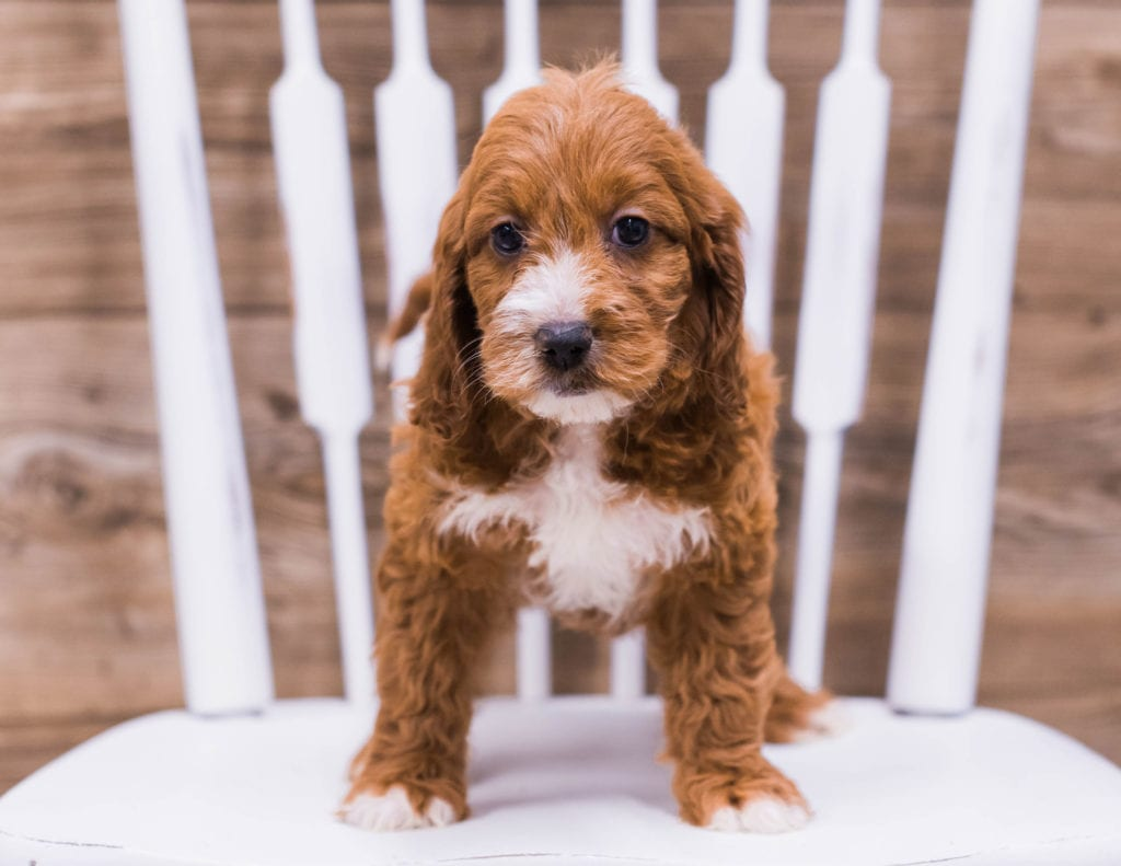 Tilly came from Ginger and Rugar's litter of F1 Irish Doodles