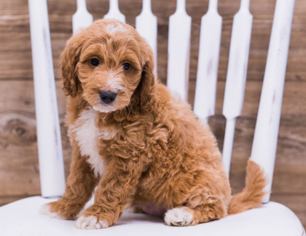 A picture of a Uffy, one of our Mini Irish Doodles puppies that went to their home in Illinois