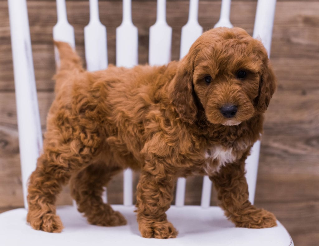 A picture of a Ugo, one of our Mini Irish Doodles puppies that went to their home in Minnesota