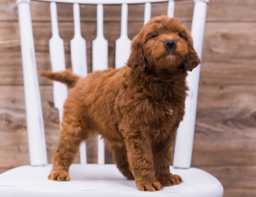 Ulek came from Jinx and Taylor's litter of F1 Irish Doodles