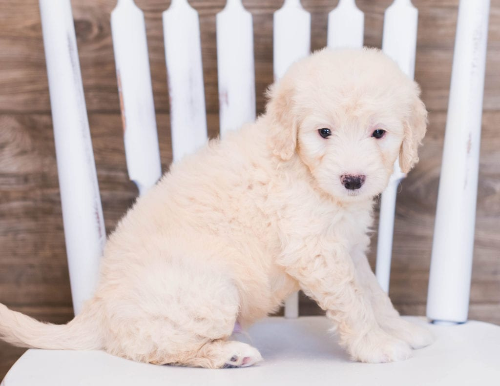 Vander came from Sassy and Ozzy's litter of F1 Goldendoodles