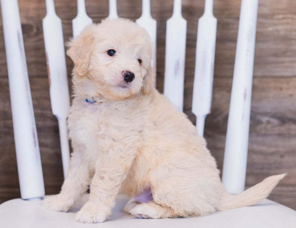 Vander is an F1 Goldendoodle that should have  and is currently living in Illinois